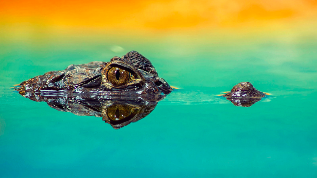 A crocodile in water