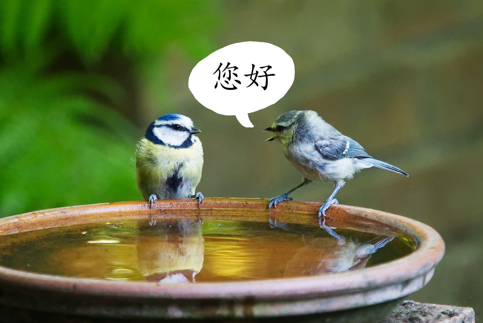 Birds speaking Chinese