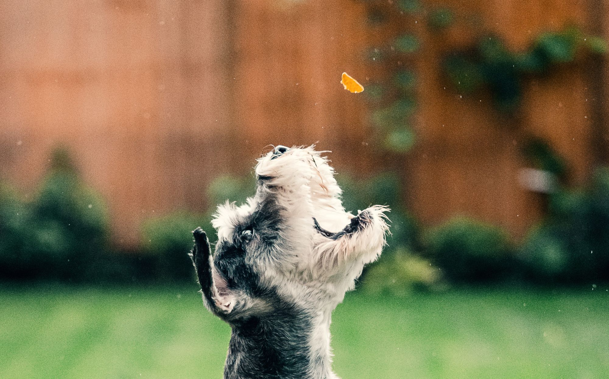 Dog catching a treat