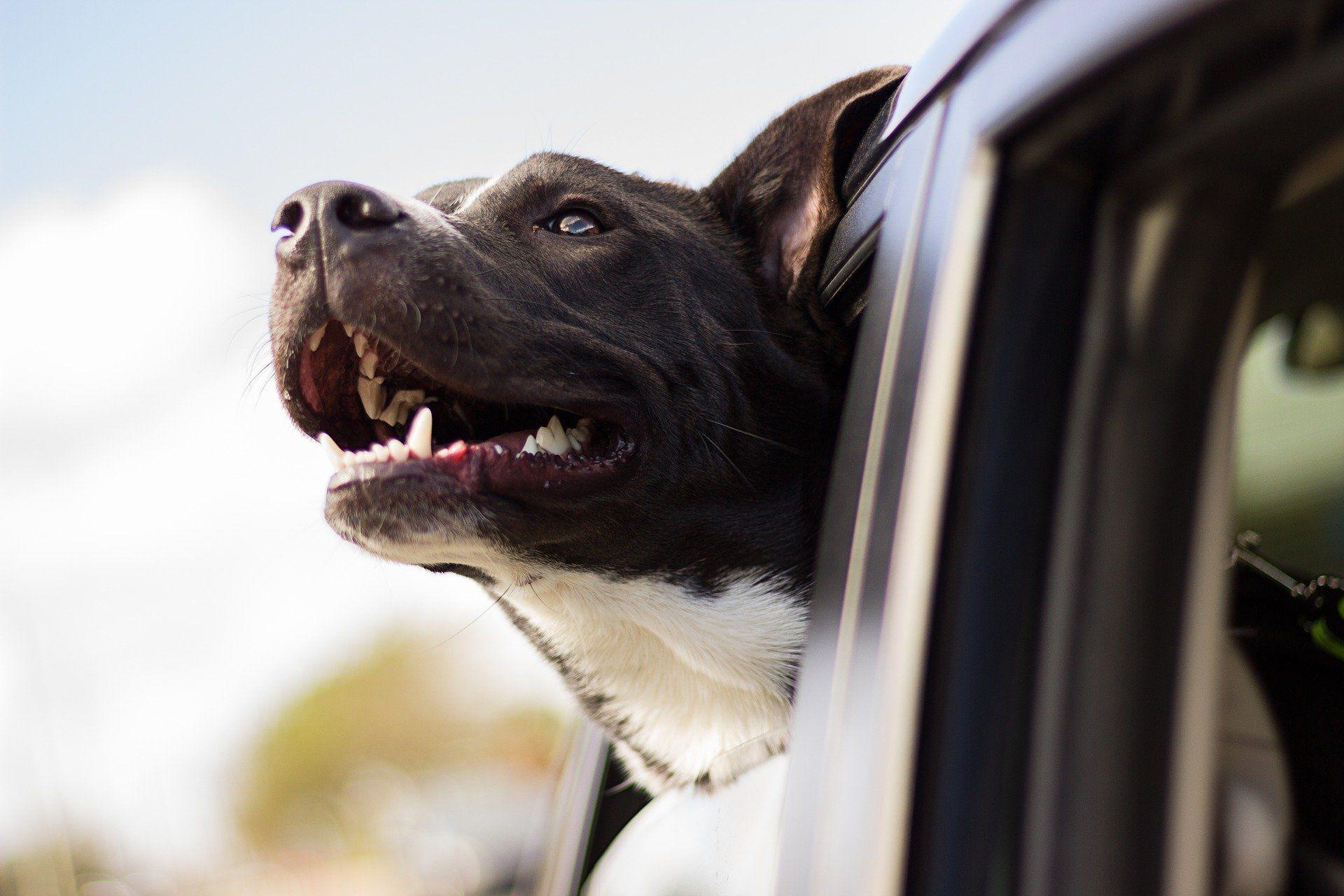 Dog in the car window