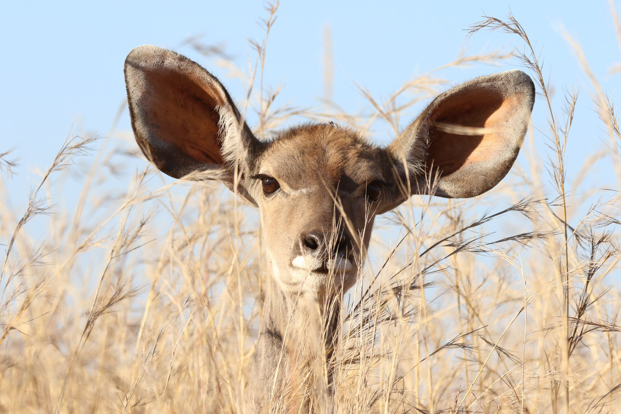 Deer with large ears in grass listening