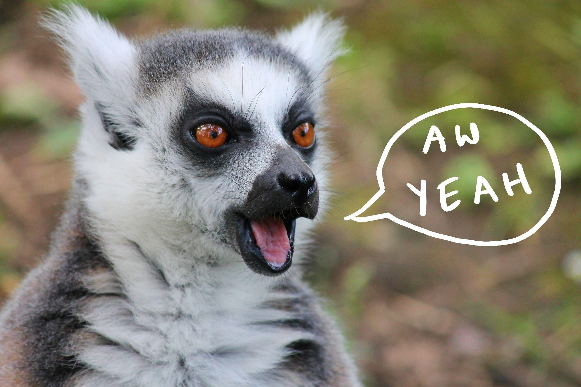 Lemur celebrating
