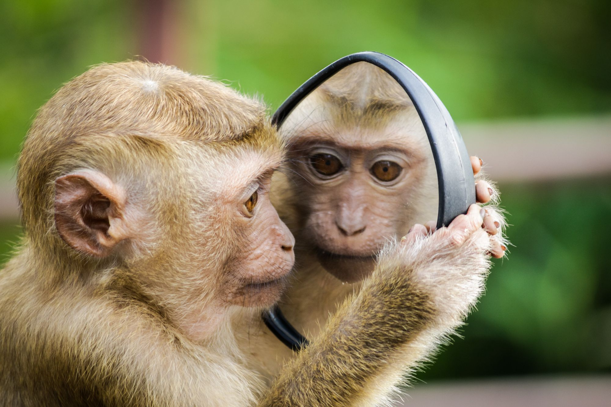 Monkey looking at its reflection in the mirror