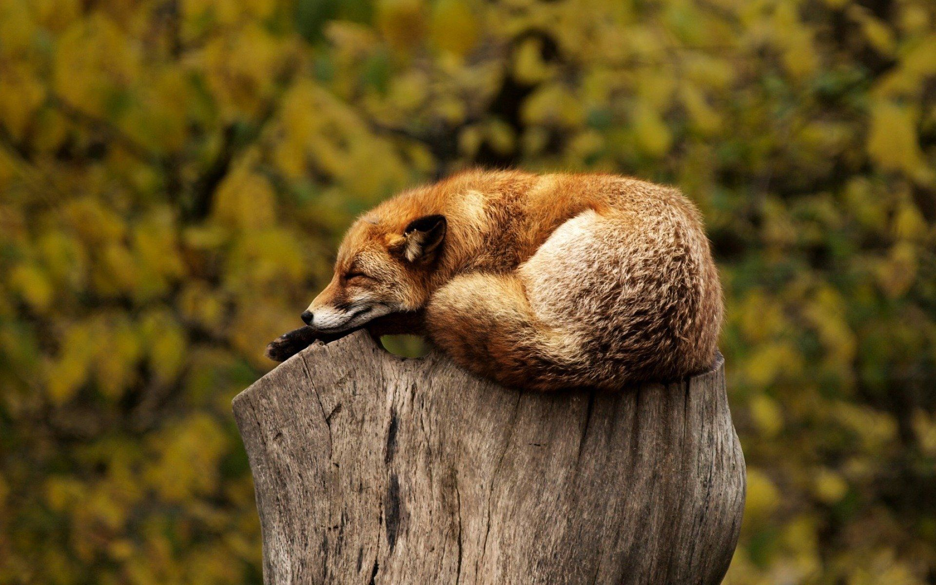 Sleeping fox on a tree
