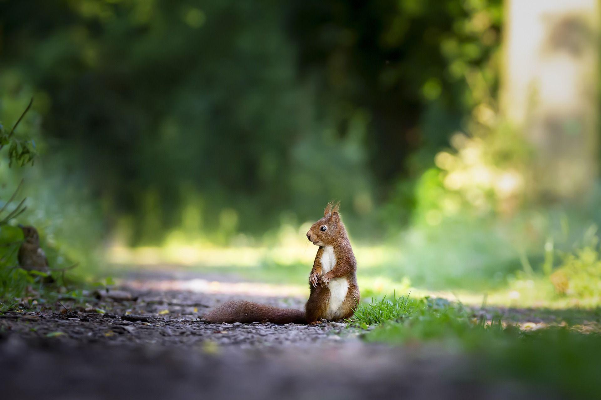 Squirrel sitting on a path