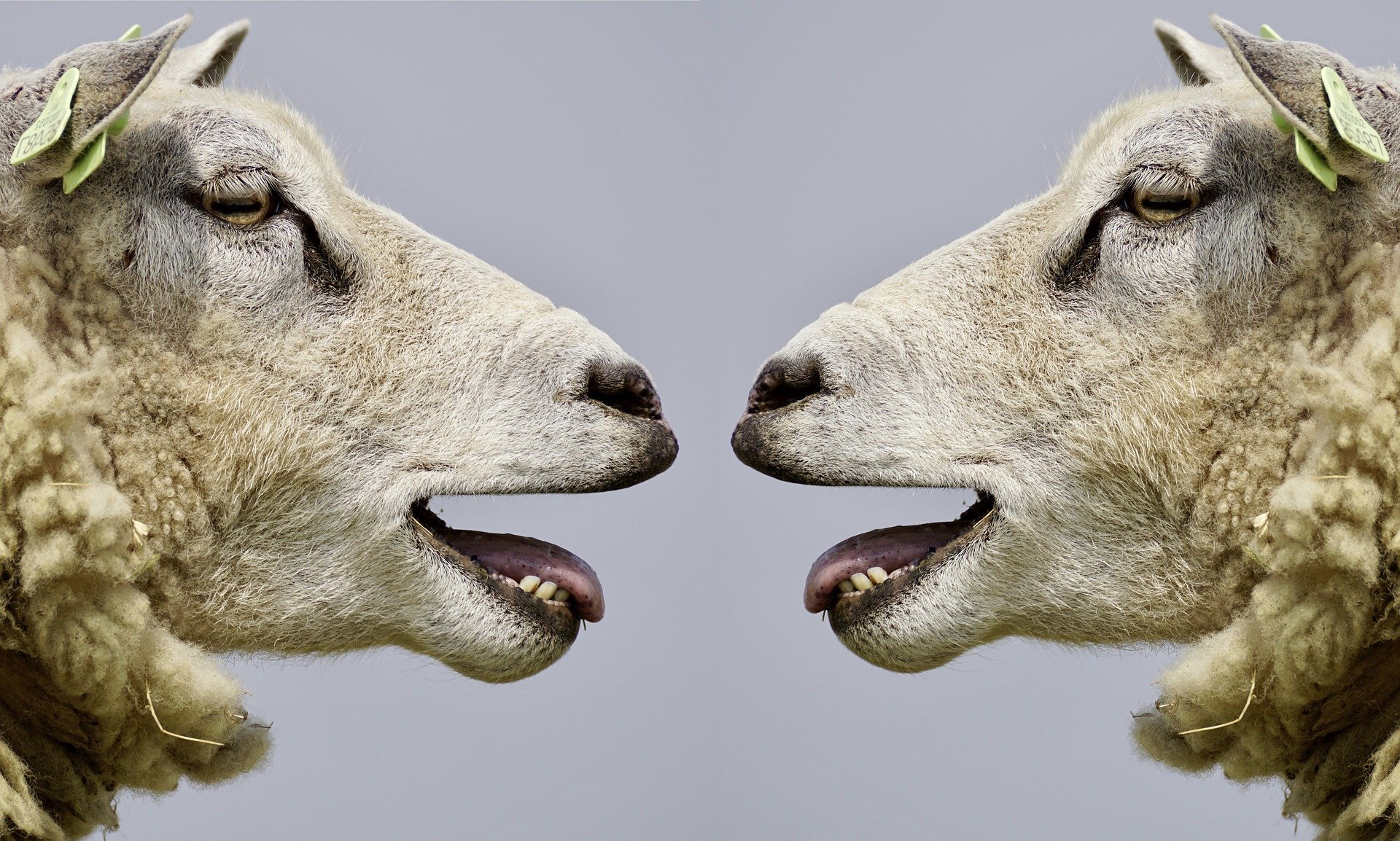 Two sheep opposite of each other