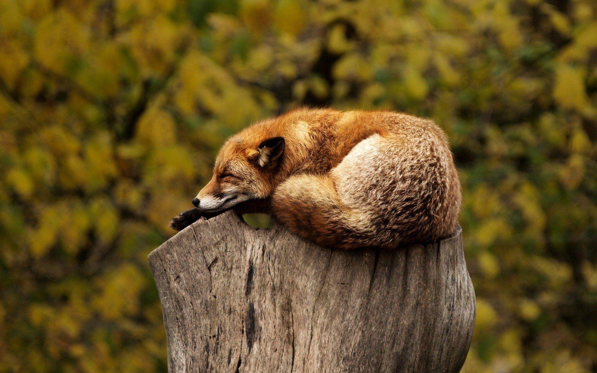 Fox sleeping on a log