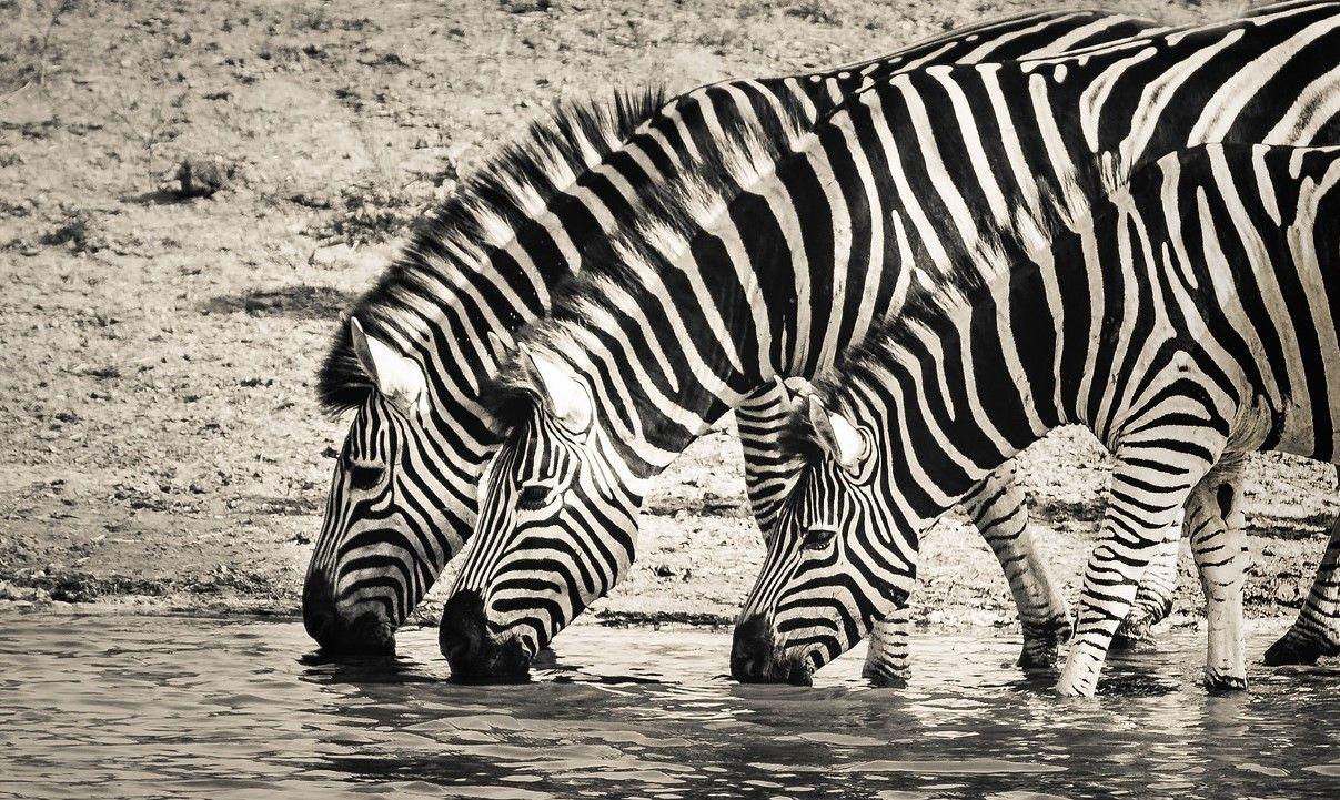 Zebras drinking water for brain health