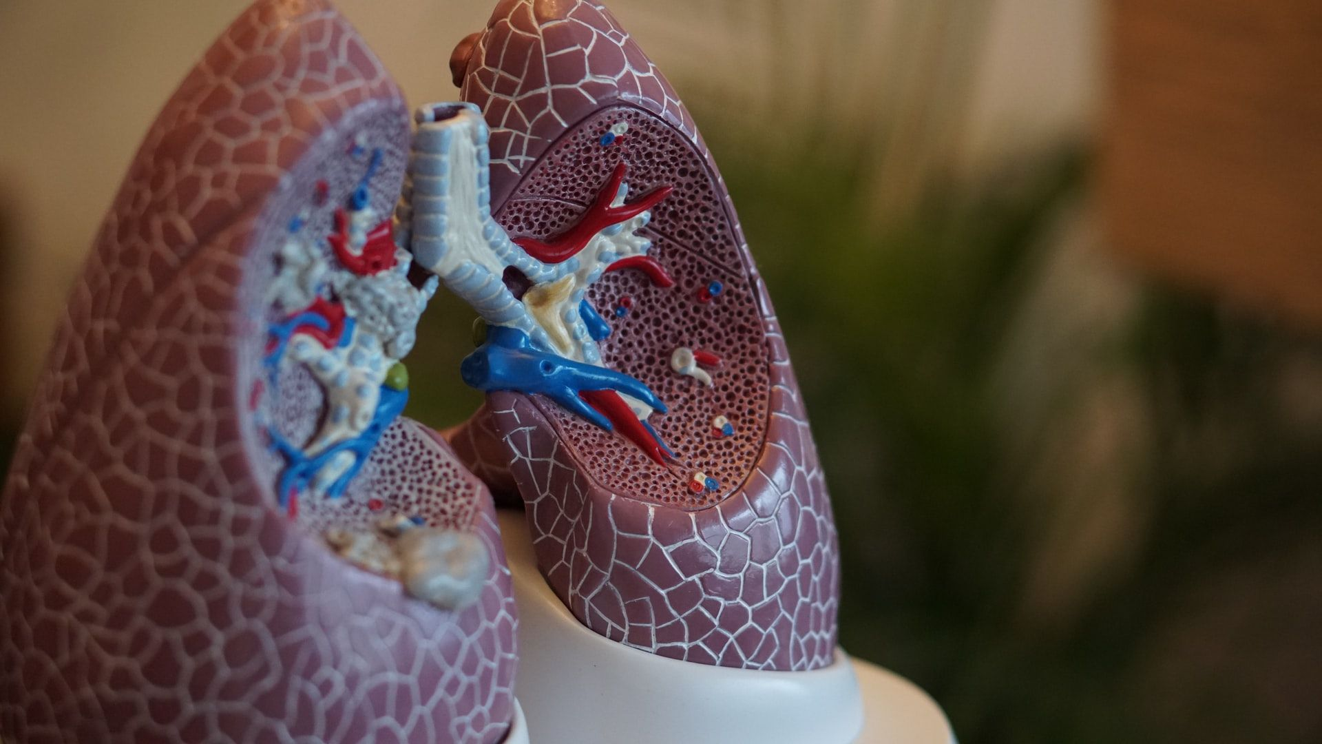 human biology plastic model of lungs