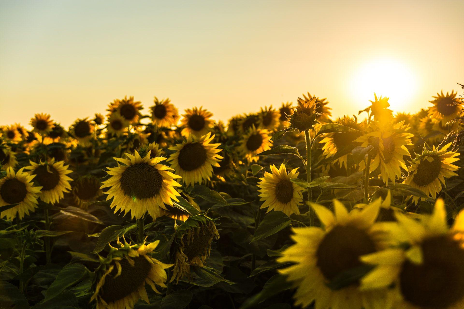 sunny weather sunflowers and sun