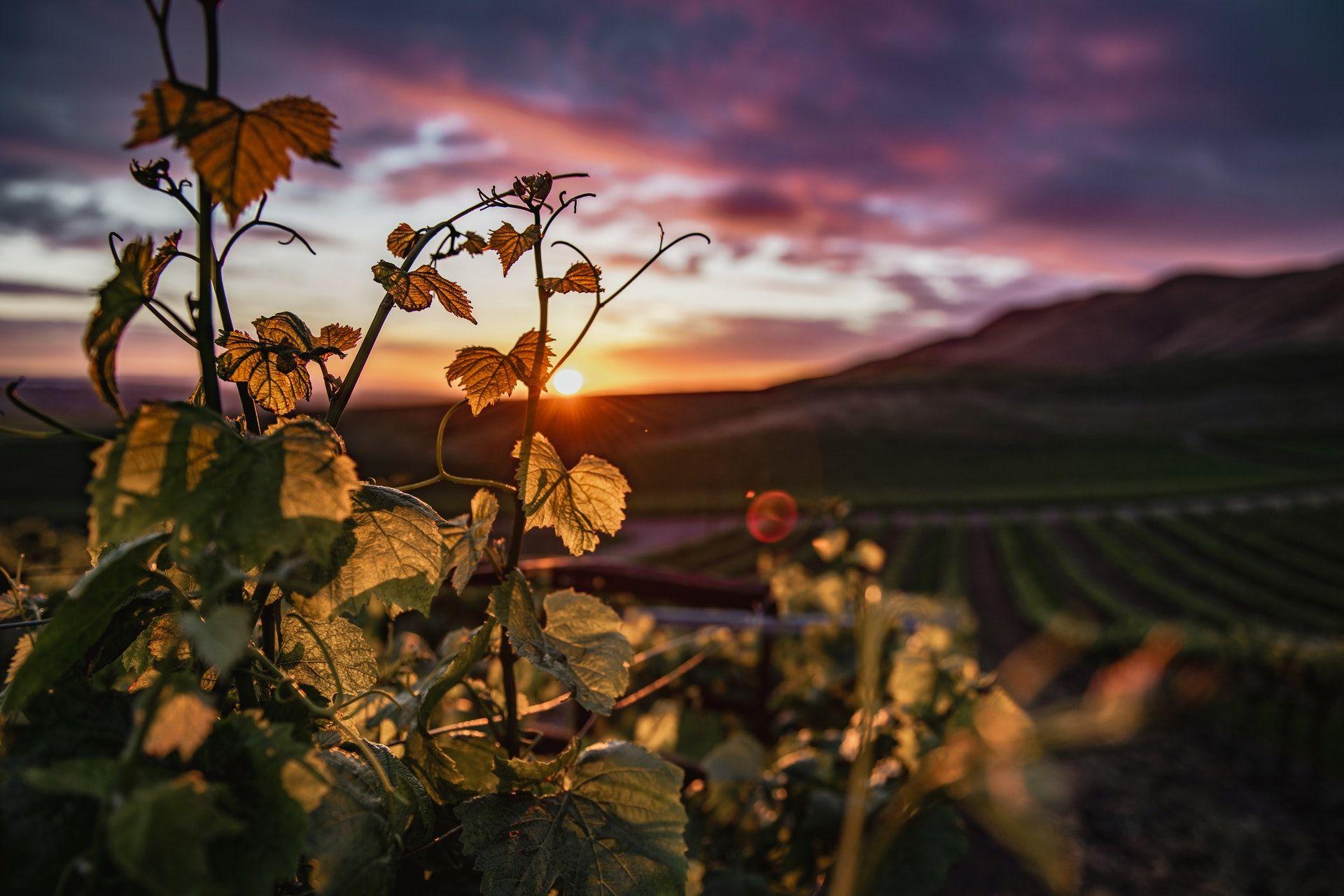 Vineyard and a sunset, WSET Level 2 exam
