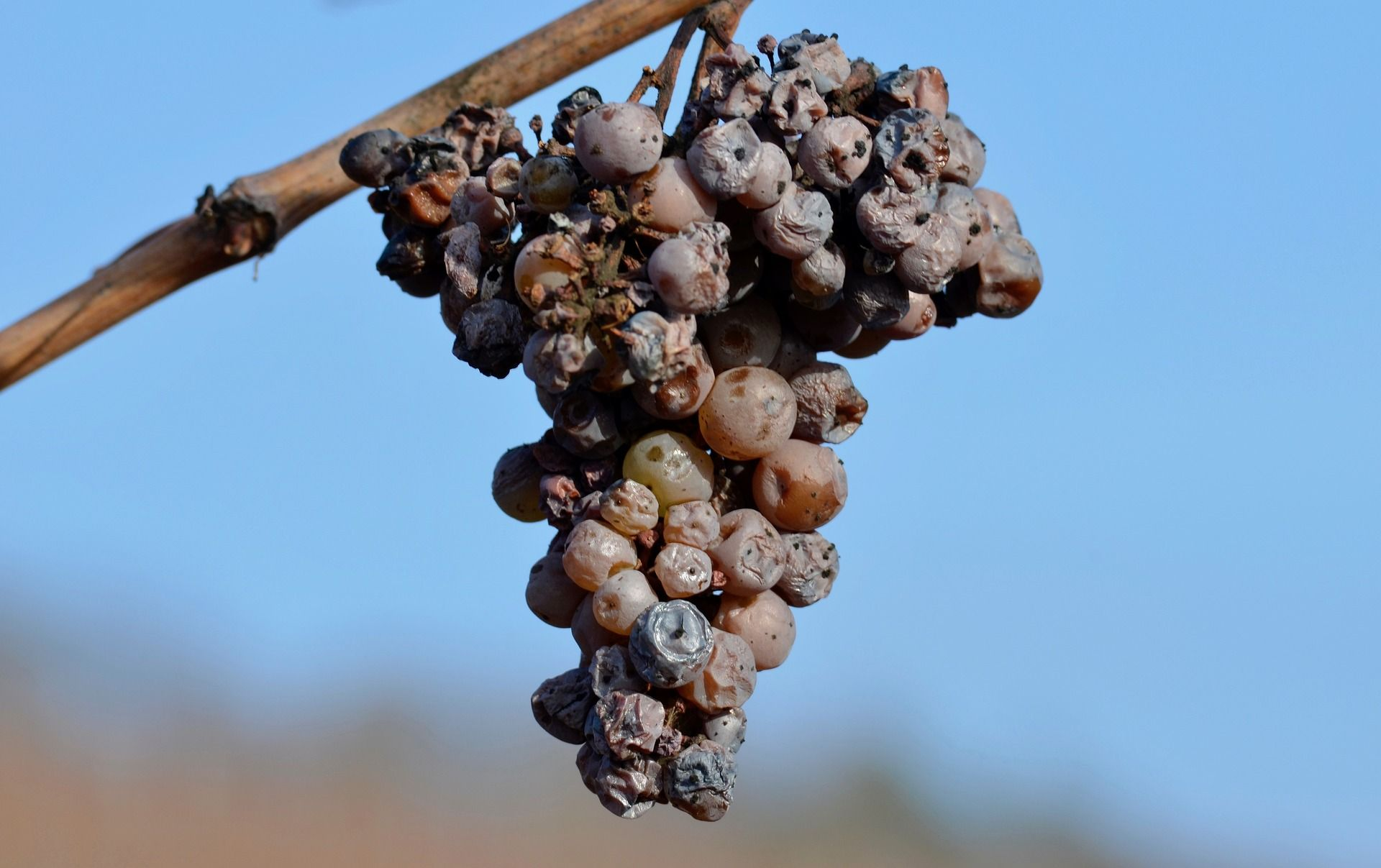 A bunch of grapes affected by Botrytis; WSET Level 2 exam