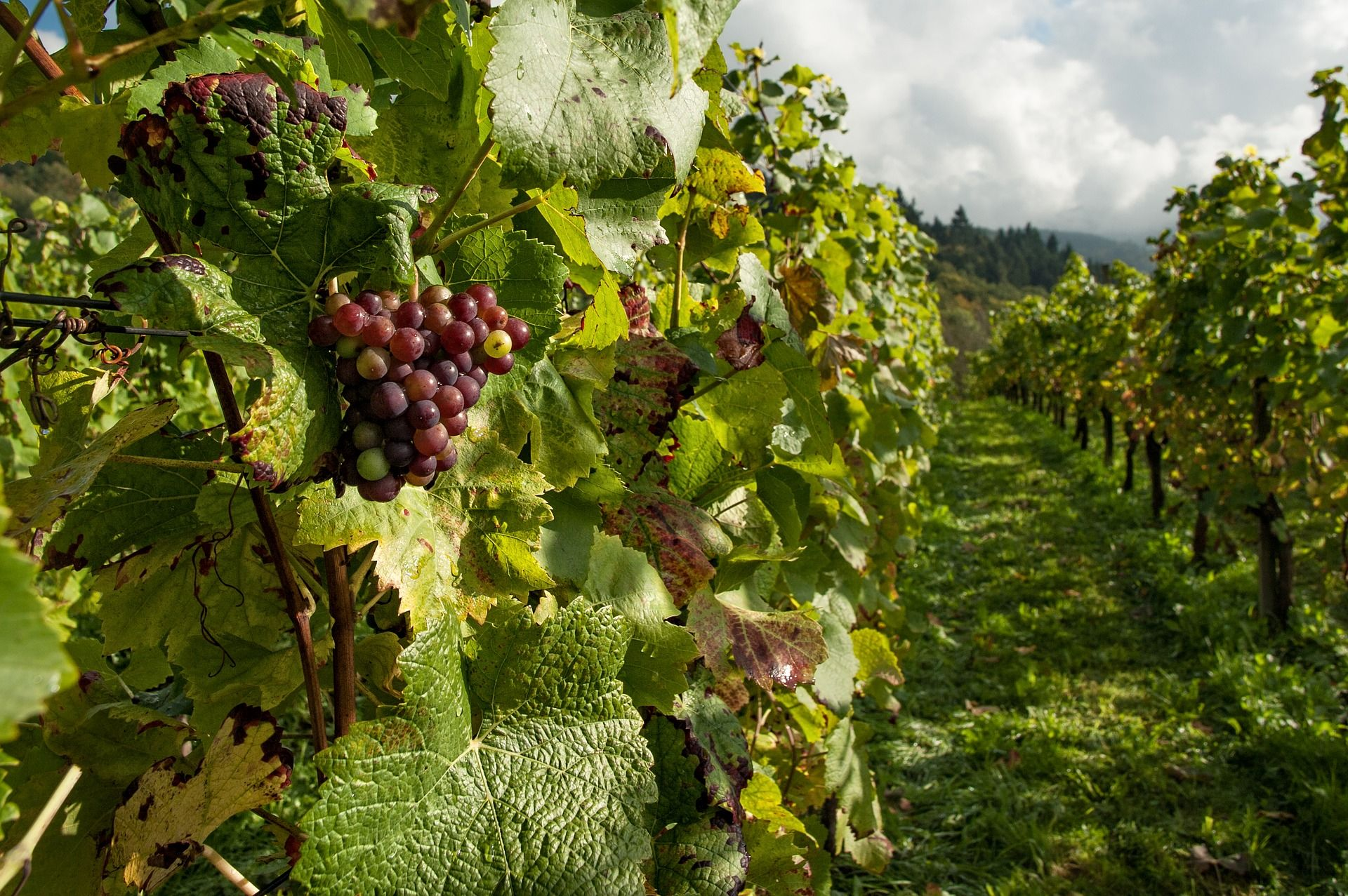 Vineyard with red grapes