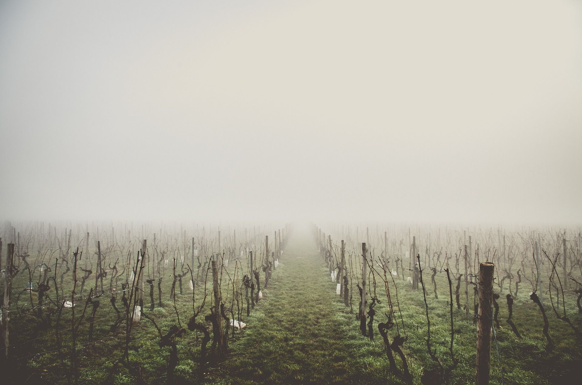 Vineyards in fog; WSET Level 2 exam