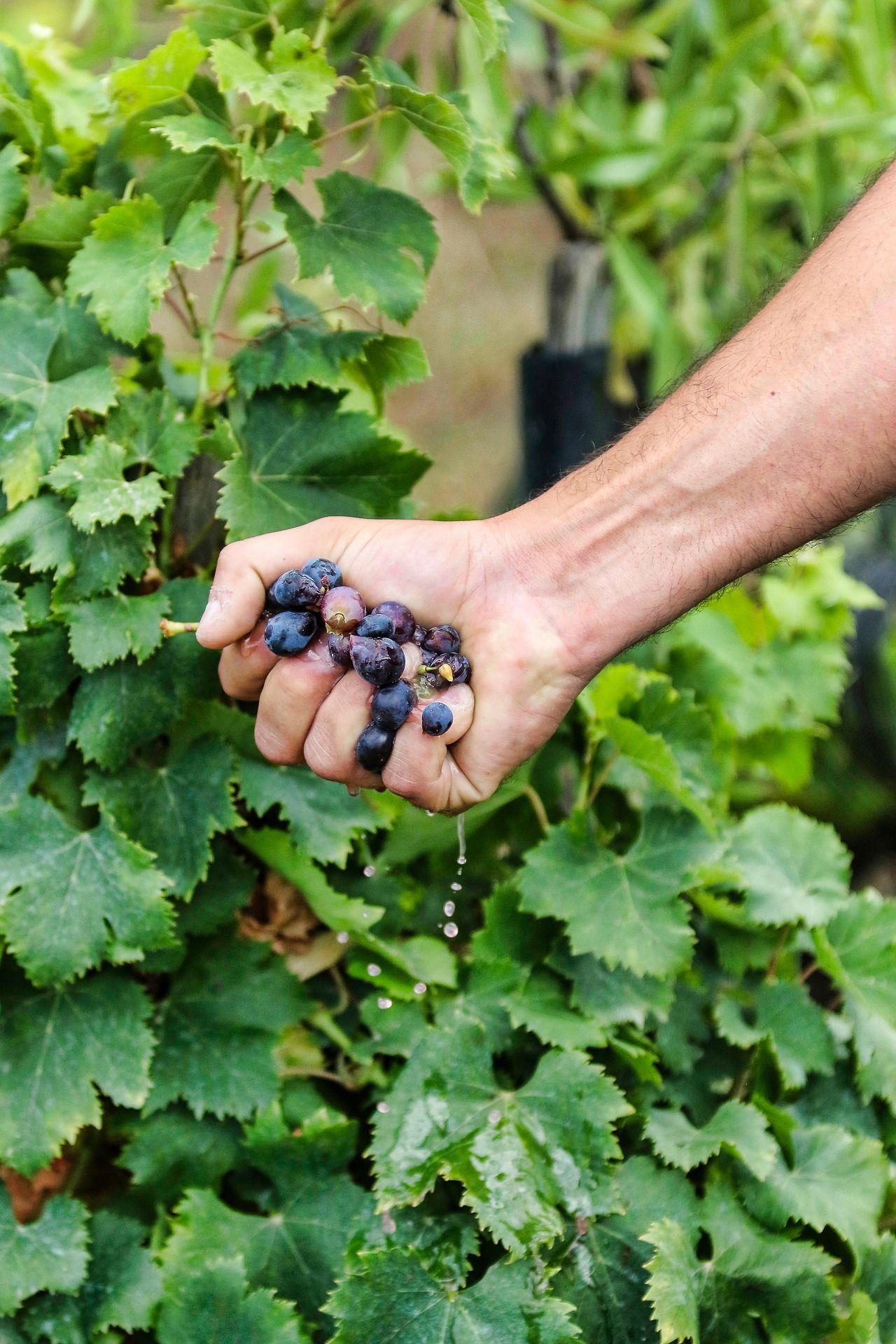 Hand squeezing grapes; WSET Level 3 exam
