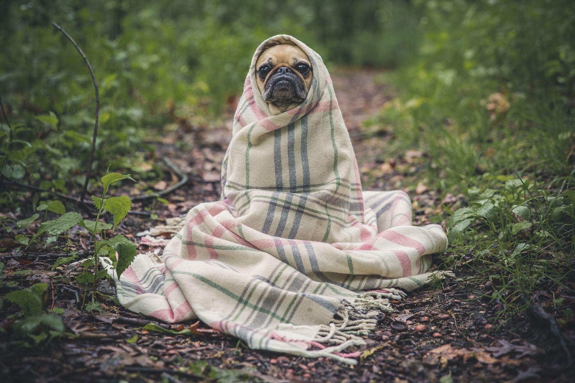 Cute pug wrapped in blanket; NCLEX study plan