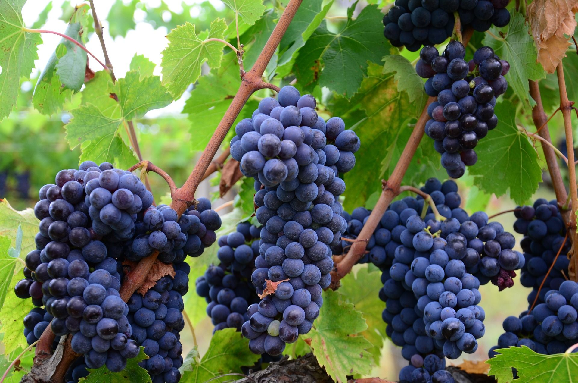 Wine grapes to make wine at home